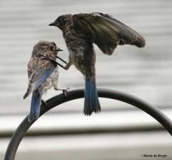 Eastern bluebird IMG_1696©Maria de Bruyn res