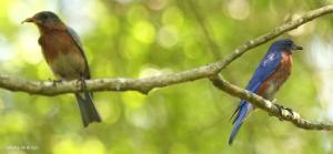 Eastern bluebird IMG_3538©Maria de Bruyn res