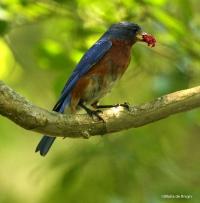 Eastern bluebird IMG_3620©Maria de Bruyn  res