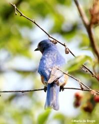 Eastern bluebird IMG_4543©Maria de Bruyn res