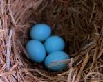 Eastern bluebird IMG_4819©Maria de Bruyn res
