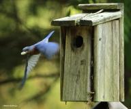 Eastern bluebird IMG_5129©Maria de Bruyn res