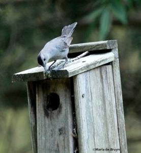 Eastern bluebird IMG_5371©Maria de Bruyn res