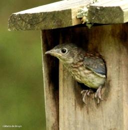 Eastern bluebird IMG_6330©Maria de Bruyn res