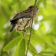 Eastern bluebird IMG_6347©Maria de Bruyn res