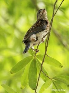 Eastern bluebird IMG_6361©Maria de Bruyn res