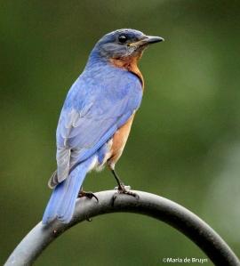 Eastern bluebird IMG_7504©Maria de Bruyn res