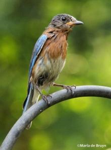 Eastern bluebird IMG_8743©Maria de Bruyn res