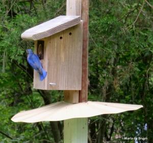 Eastern bluebird IMG_8749©Maria de Bruyn res