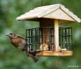 Eastern bluebird IMG_8753©Maria de Bruyn res