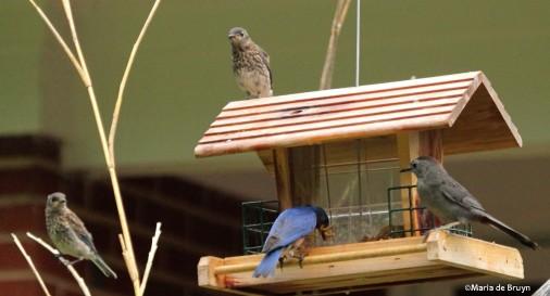 Eastern bluebirds IMG_1123©Maria de Bruyn res
