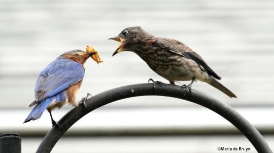 Eastern bluebirds IMG_1243©Maria de Bruyn res