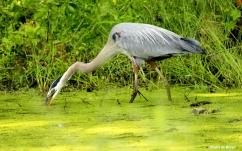 great blue heron IMG_4309©Maria de Bruyn res