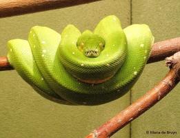 Green tree python IMG_3565© Maria de Bruyn