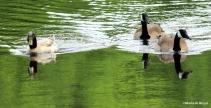 Mallard-Pekin duck IMG_1031©Maria de Bruyn res