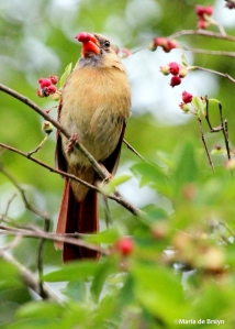 Northern cardinal IMG_2078©Maria de Bruyn2 res