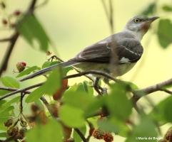 Northern mockingbird IMG_4164©Maria de Bruyn2 res