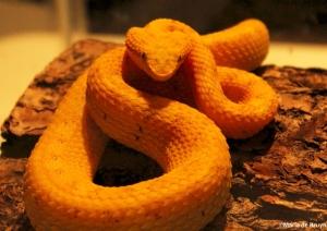 pit viper IMG_1787©Maria de Bruyn res