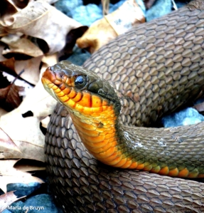 Red-bellied watersnake IMG_8141©Maria de Bruyn res