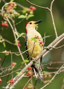 red-bellied woodpecker IMG_1633©Maria de Bruyn2 res