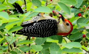 red-bellied woodpecker IMG_2094©Maria de Bruyn2 res