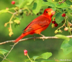 Summer tanager IMG_1643©Maria de Bruyn res