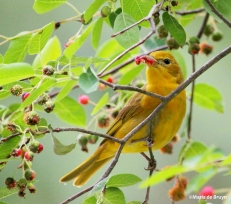 Summer tanager IMG_1955©Maria de Bruyn res