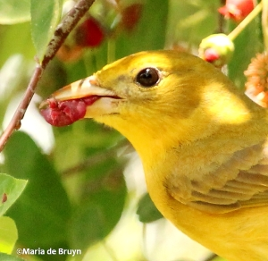 summer tanager profile IMG_4040©Maria de Bruyn