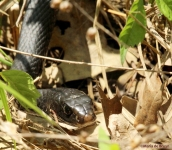 Western rat snake IMG_0330©Maria de Bruyn res