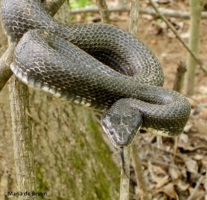 Western rat snake IMG_4614©Maria de Bruyn