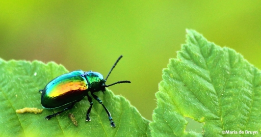 dogbane beetle IMG_2461©Maria de Bruyn res