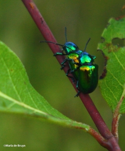 dogbane beetle IMG_4006©Maria de Bruyn res