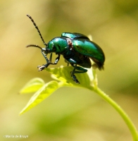 dogbane beetle IMG_4351©Maria de Bruyn res