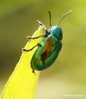 dogbane beetle IMG_4382©Maria de Bruyn res
