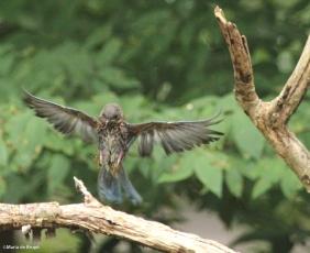 Eastern bluebird IMG_5850©Maria de Bruyn