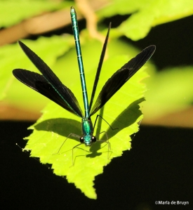 Ebony jewelwing IMG_7812©Maria de Bruyn res1