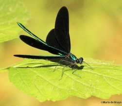 Ebony jewelwing IMG_7890©Maria de Bruyn res