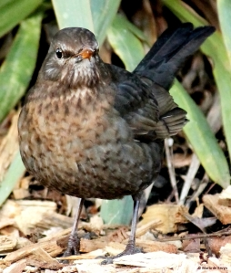Eurasian blackbird female 3 MdBblog
