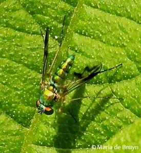 long-legged fly IMG_1425 M de Bruyn