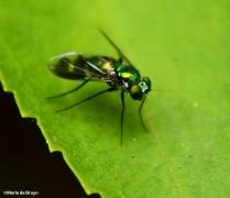 Long-legged fly IMG_9536© Maria de Bruyn