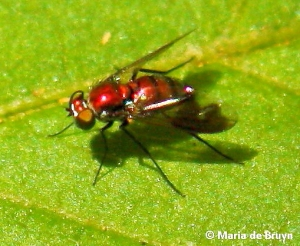 Longlegged  fly Condylostylus patibulatus IMG_4304 Maria de Bruyn