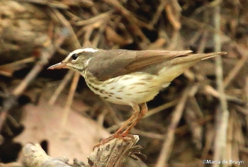 Louisiana waterthrush IMG_1260©Maria de Bruyn blog