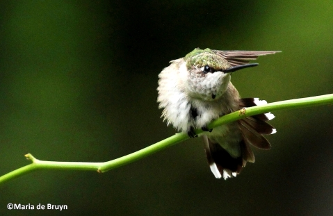 Ruby-throated hummingbird IMG_1482©Maria de Bruynres
