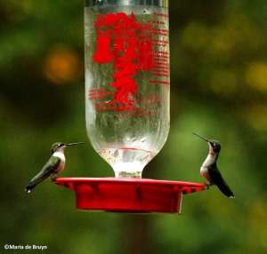 Ruby-throated hummingbird IMG_2742©Maria de Bruynres