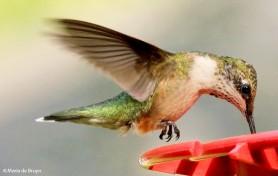 ruby-throated hummingbird IMG_3293 MdB