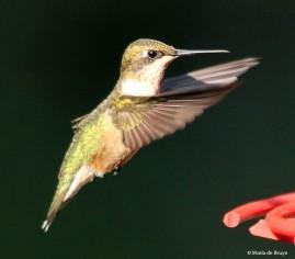 ruby-throated hummingbird IMG_3498