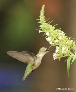 Ruby-throated hummingbird IMG_6085©Maria de Bruyn