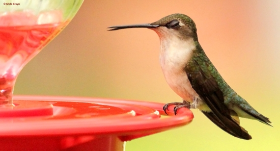 ruby-throated hummingbird M de Bruyn signed (2) res