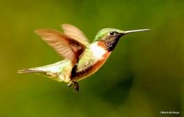 Ruby-throated hummingbird male IMG_5433©Maria de Bruyn res