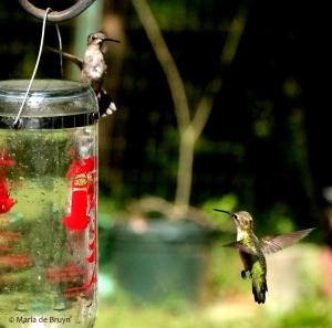 ruby-throated hummingbirds IMG_0729 MdB res